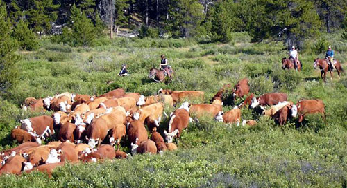 The summer cattle drive requires some riding experience