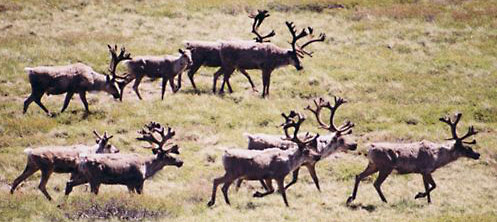 The chance to see Woodland Caribou is virtually guaranteed